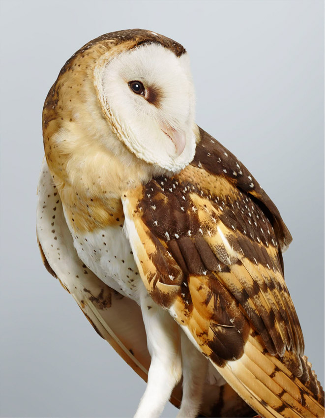 Duke No 1, Grass Owl by Leila Jeffreys