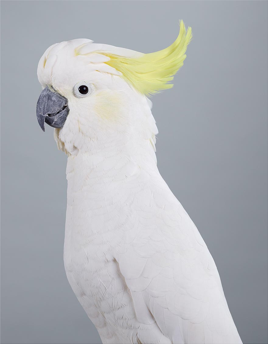 Scratch Sulphur Crested Cockatoo by Leila Jeffreys