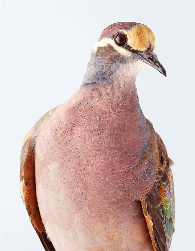 Common Bronzewing by Leila Jeffreys