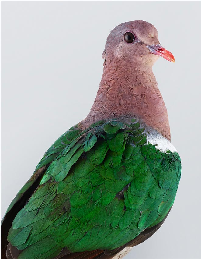 Emerald Dove by Leila Jeffreys