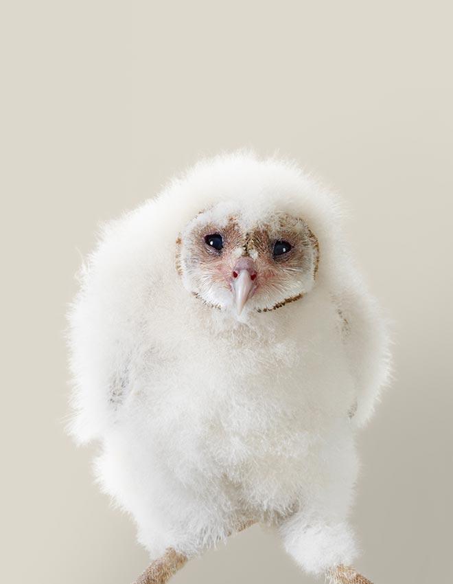 Ava Western barn owl chick by Leila Jeffreys