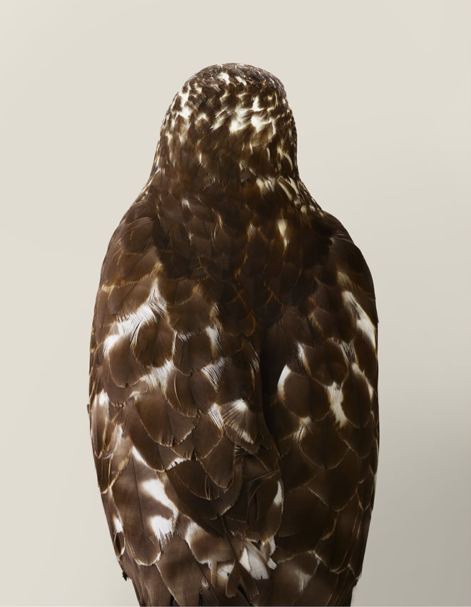 Drifter No. 2, Broad-winged hawk by Leila Jeffreys