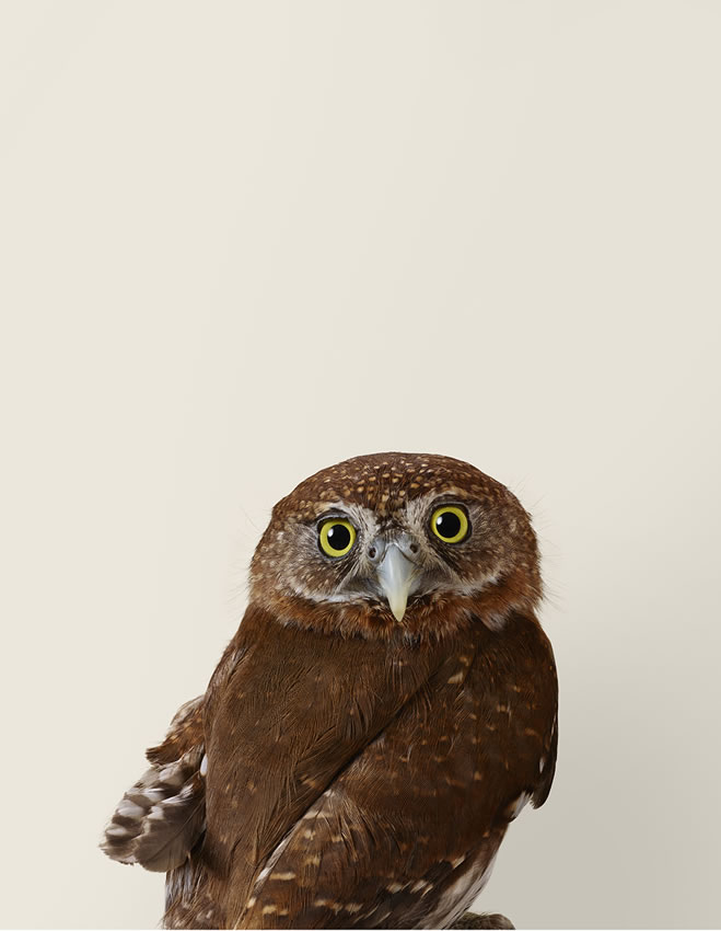 Pixie, Northern pygmy owl by Leila Jeffreys